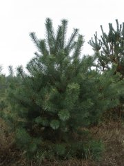 Новогодние сосны,  живые елки оптом