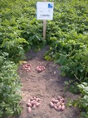 семенной картофель для Успешного бизнеса в Украине