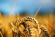Высококачественные семена озимой пшеницы в Украине продажа оптом