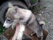 Продаются щенки русско-европейской и западносибирской лайки