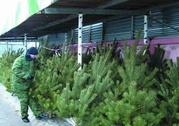 Продажа живые сосны и елки оптом