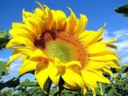 Насіння соняшника урожай 2014 рік