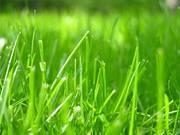 Суміш газонних трав Посухостійка
