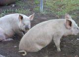 Свиней беконных живым весом.