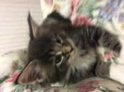 Продам котят Мейн-кунов