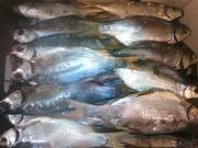 Продам рибу ,  в'ялена,  свіжоморожена