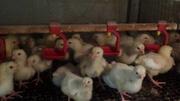 Бройлер кросс КОББ 500 и инкубационные яйца бройлера
