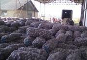 Картофель от 5 тон 3 грн/кг