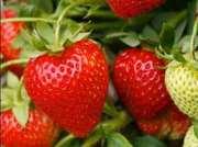 Продам ягоду клубники ОПТ!