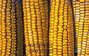 Продаются семена подсолнечника и кукурузы