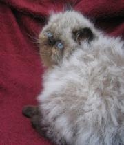 продаются персидские экстремальные котята
