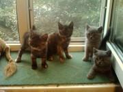 Продаются породистые котята